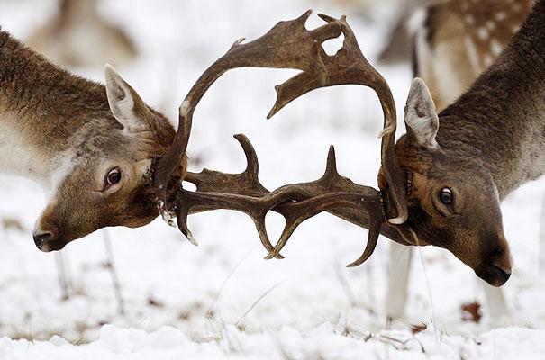 ciervos-pero-no-empuje